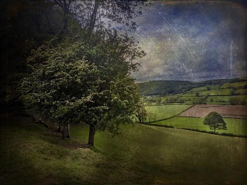 wales tree teifivalley hawthorn