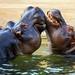 Hroch obojživelný (Hippopotamus amphibius)