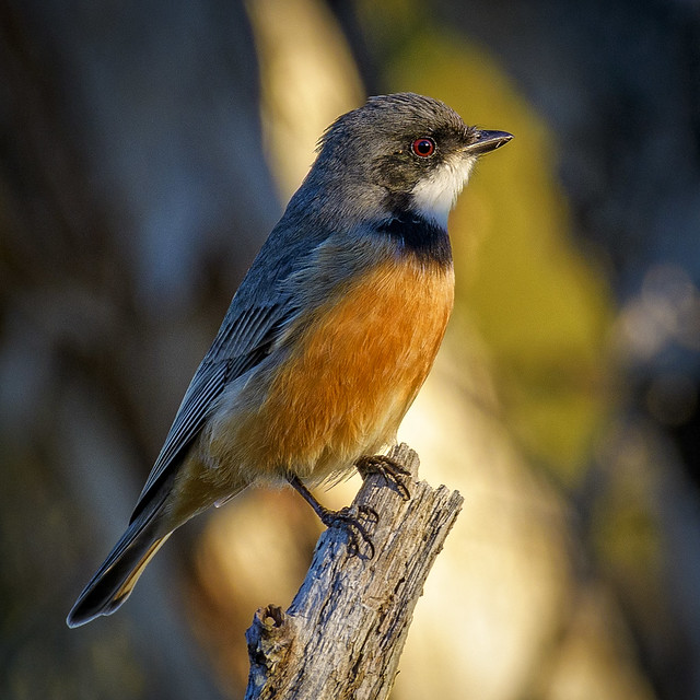 late afternoon - ♂ rufous whistler