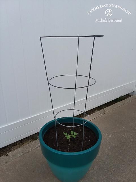 Tomato Plant (5)