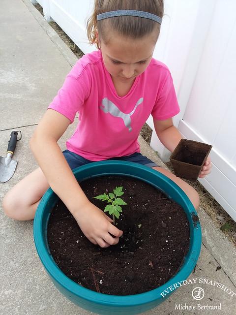 Tomato Plant (3)