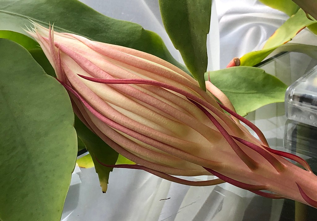 Pastel Cereus Blossom