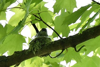 Blue-gray Gnatcatcher (Polioptila caerulea) by Michelle Lindsey at Rocky River Reservation, Cleveland Metroparks, 24000 Valley Pkwy, North Olmsted, OH 44070