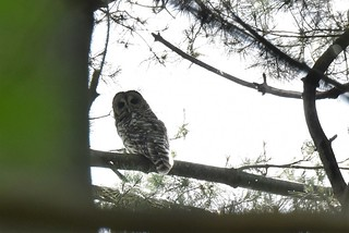Barred Owl (Strix varia) by Michelle Lindsey at Rocky River Reservation, Cleveland Metroparks, 24000 Valley Pkwy, North Olmsted, OH 44070