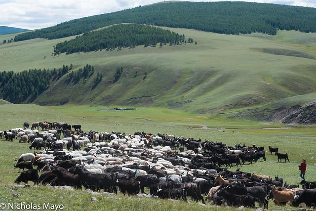 Herding On The Steppe