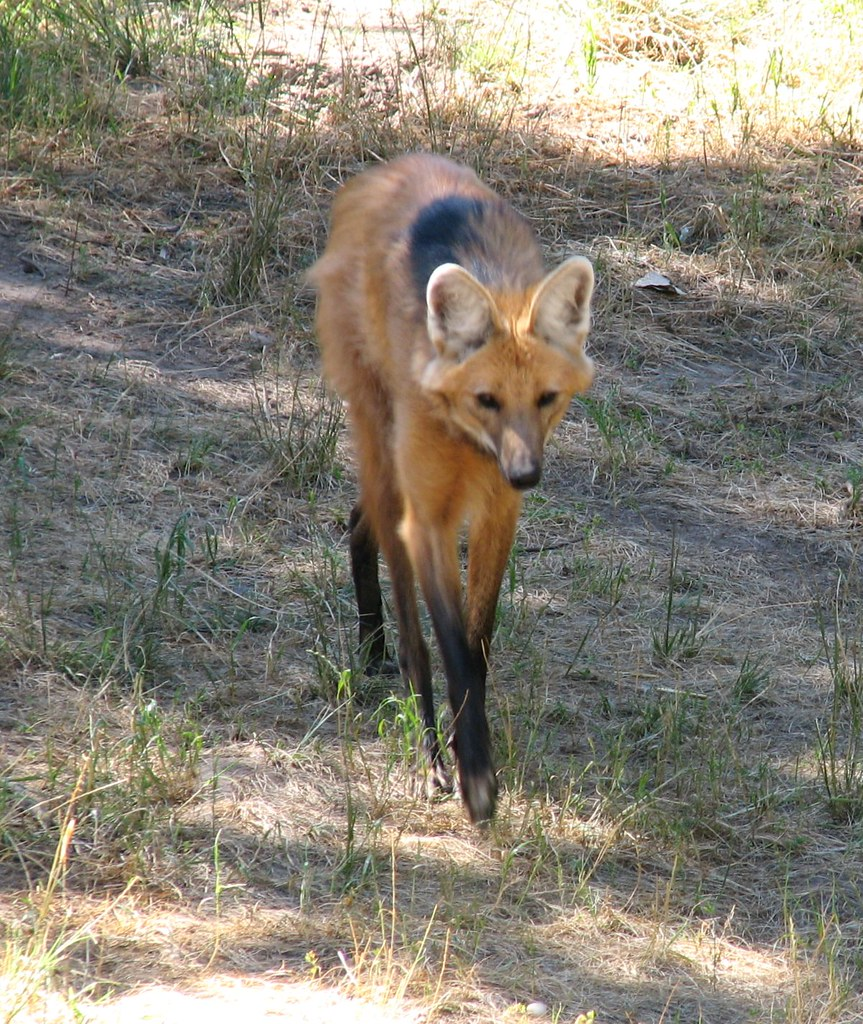 Maned Wolf [Chrysocyon brachyurus]