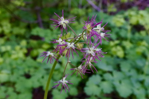 Western Meadow-rue