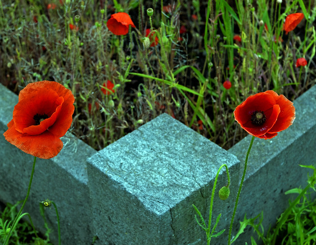 Poppies in the cemetery