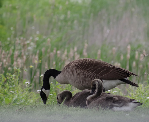 Parent And Goslings | by smfmi