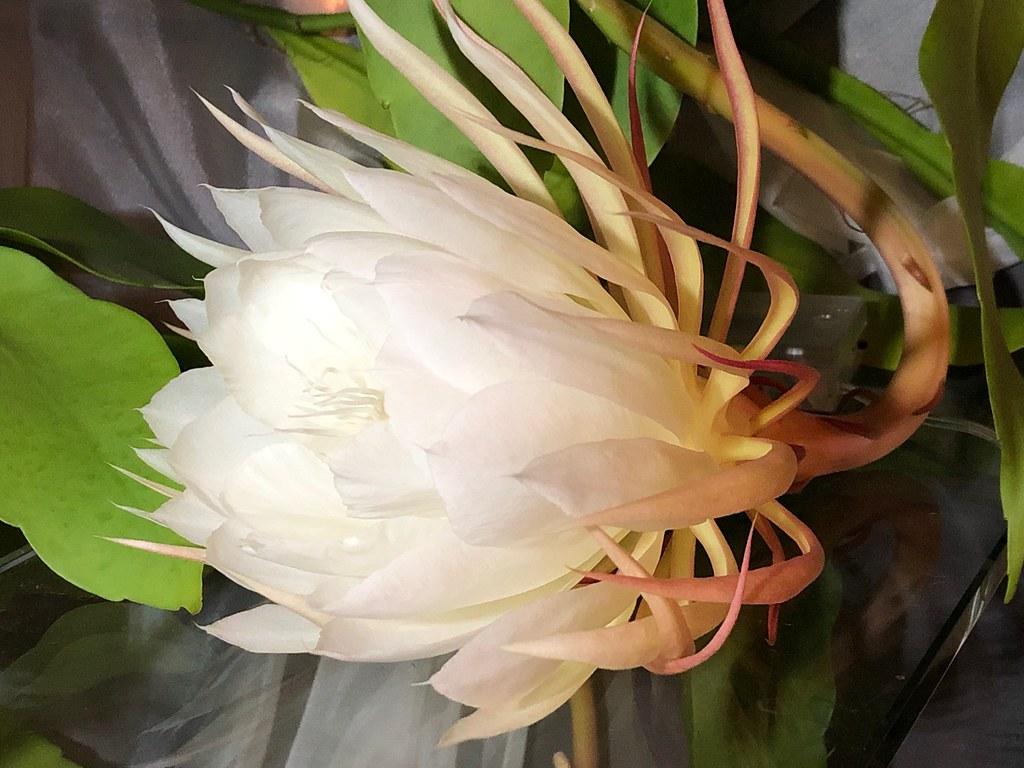 Tonight's Cereus Blossom!