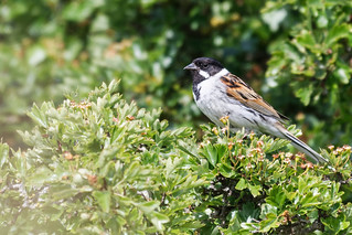 Reed Bunting Lincolnshire 07-06-2019 Ian W