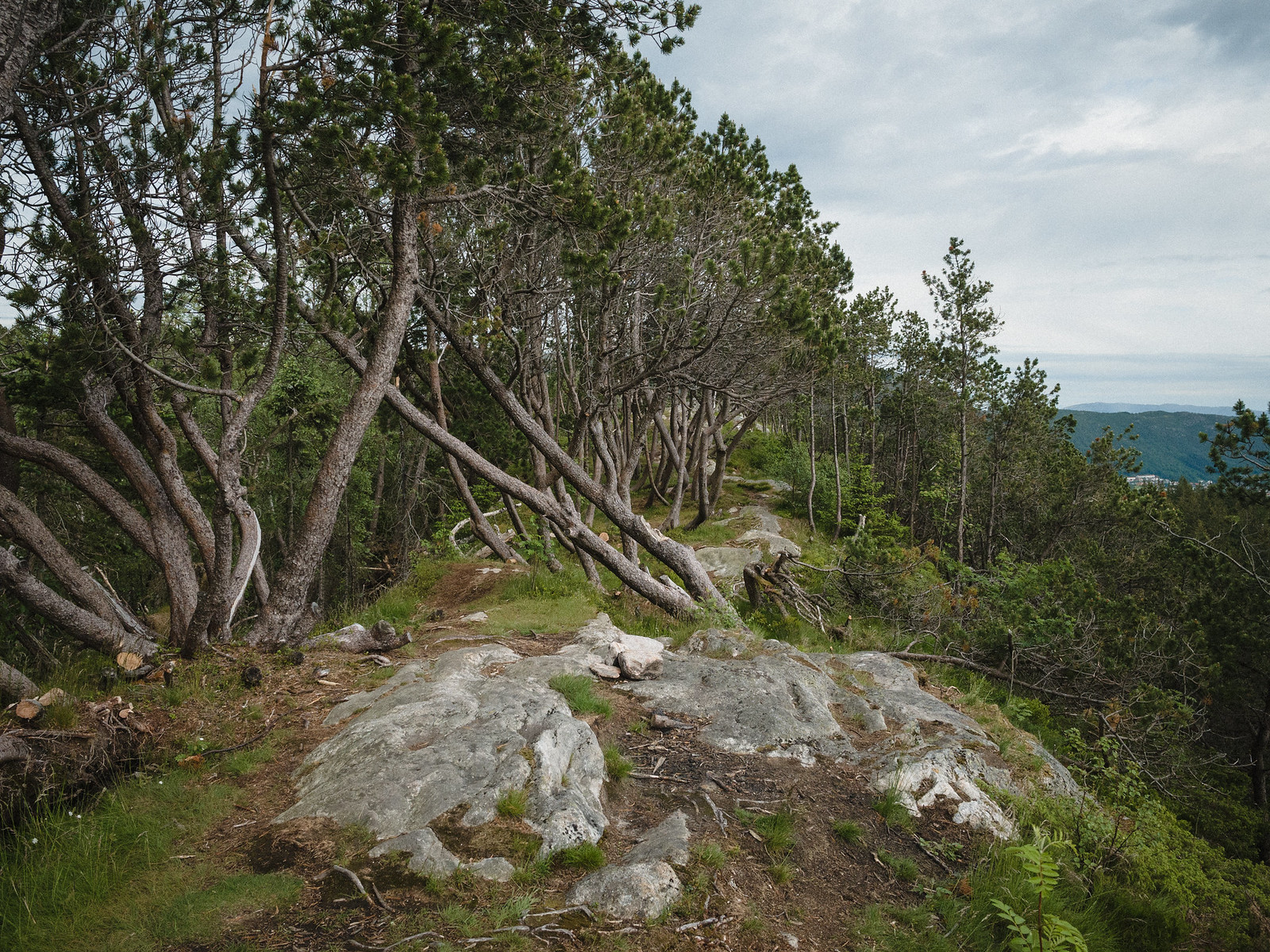 Crooked pines and trail in mountain area.