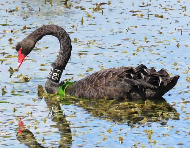 Black Swan F65, Melbourne