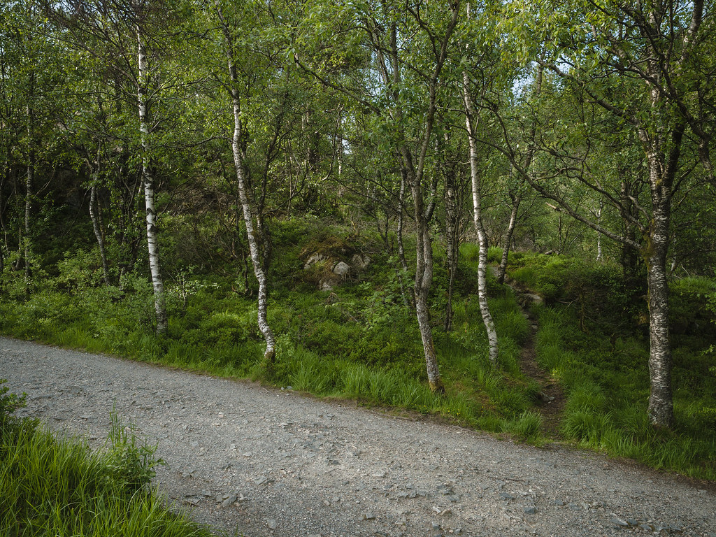 Gravel road in the woods, trail between mountain birch trees.