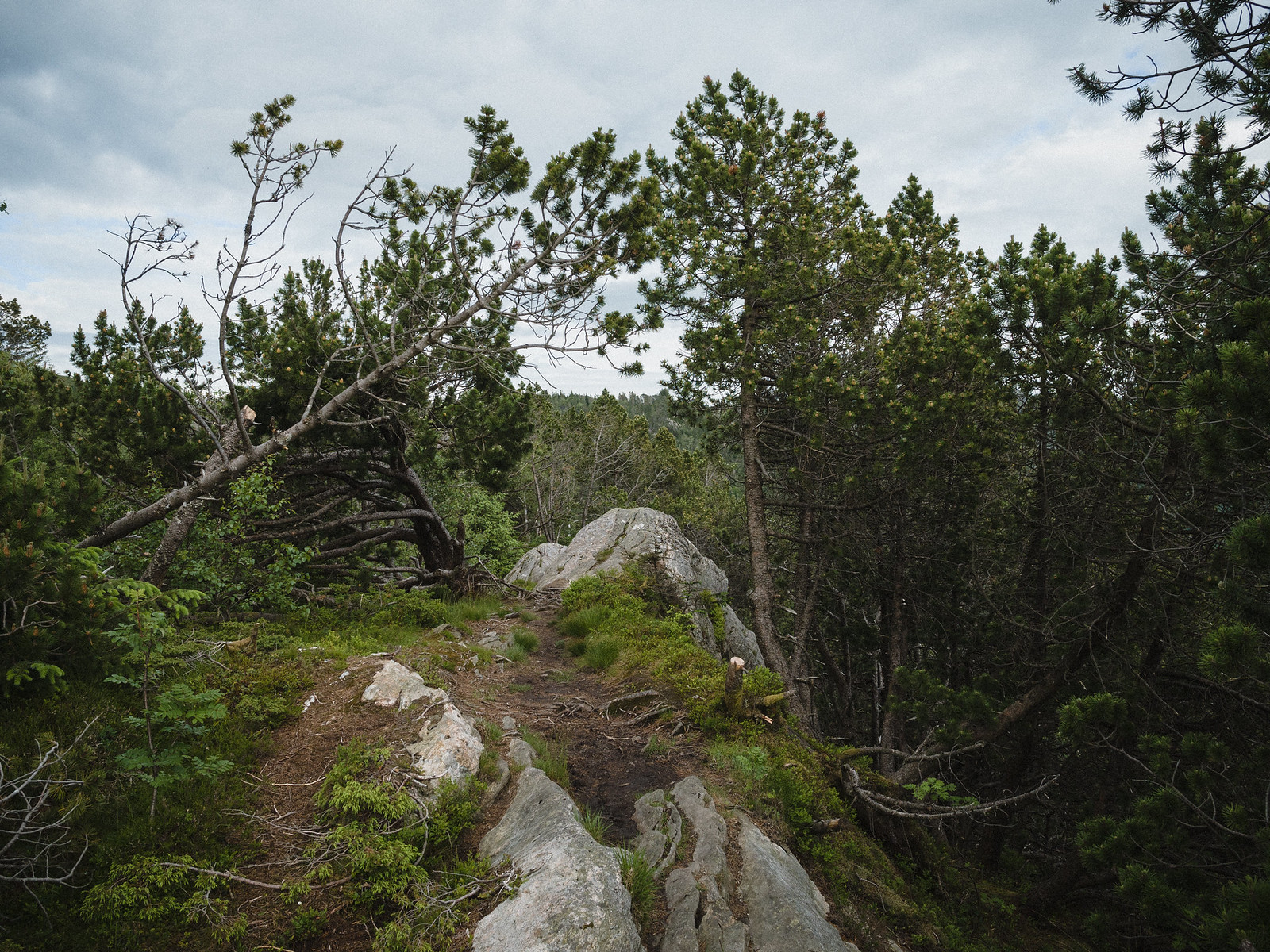 Rocky hiking trail in between crooked pine trees.