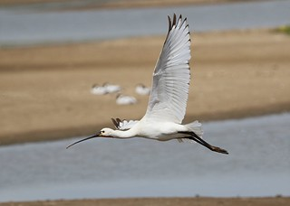 Spoonbill  -  Gibraltar Point Lincolnshire.