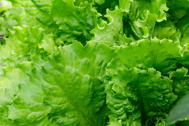 Fresh green lettuce leaves