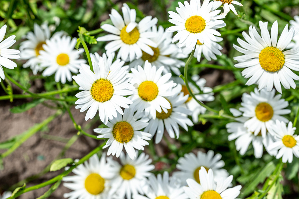 White flowers chamomile garden | ✅ Marco Verch is a Professi ...