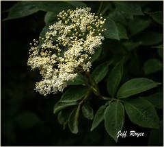 Elder Tree Blossom