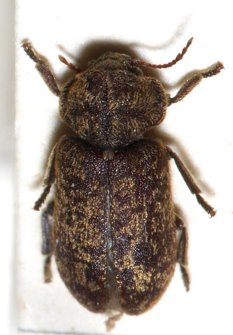 Death Watch Beetle - Xestobium rufovillosum