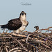 Osprey of the Jersey Shore | 2019 - 14