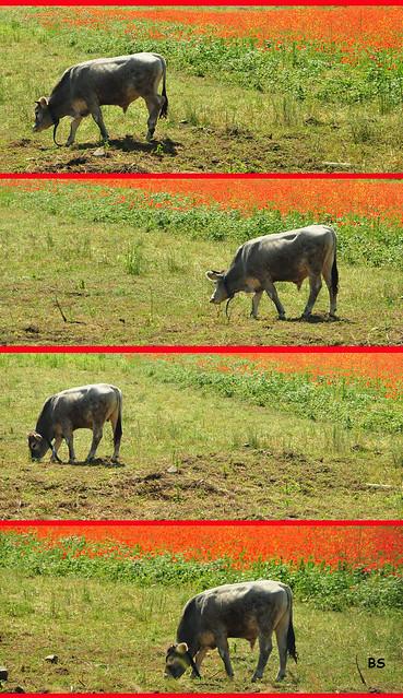 Ladenburg, Juni 2019: Rinder und Mohnblüte ... Fotos: Brigitte Stolle
