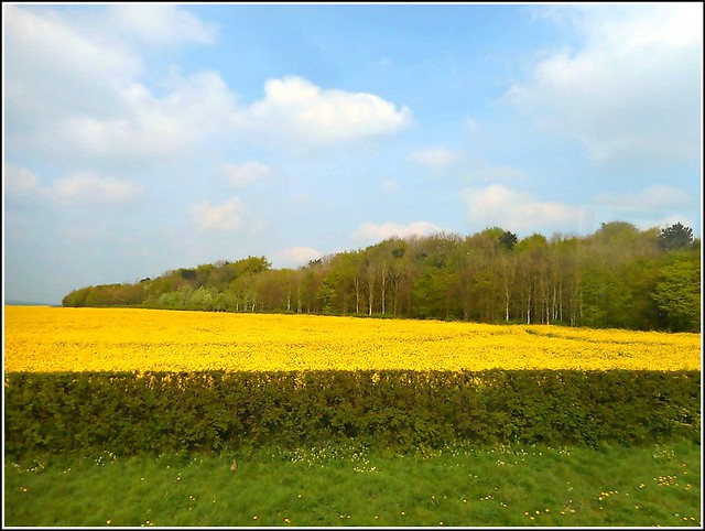 Woodside Rape Field...
