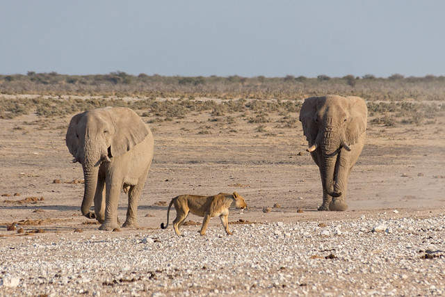 two elephants and a lioness