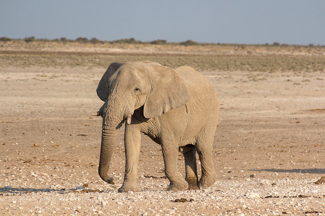 elephant @ Nebrowni waterhole