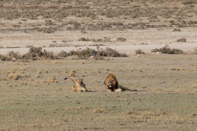 resting lions = very few animals at the waterhole