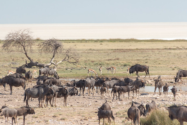 Wildebeest @ Salvadora waterhole