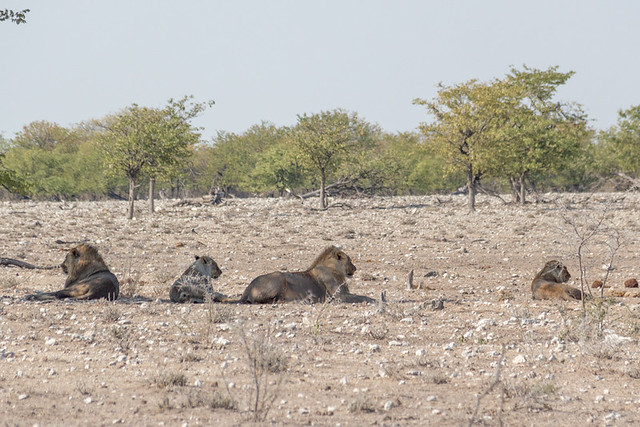 lions enjoying the shade @ Rietfontein waterhole