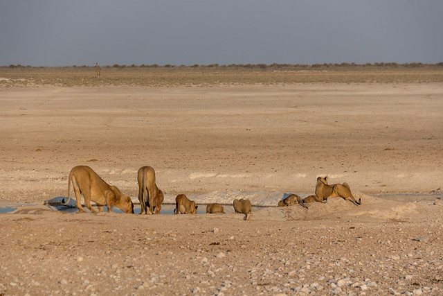 lions having a drink