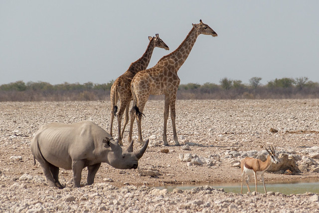 rhino, giraffe, and springbok @ Gemsbokvlakte waterhole