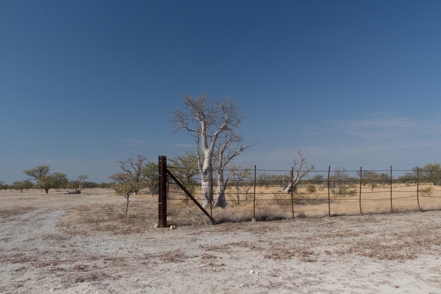 African Moringa trees protected from elephants by an electric fence (Sprookieswoud)