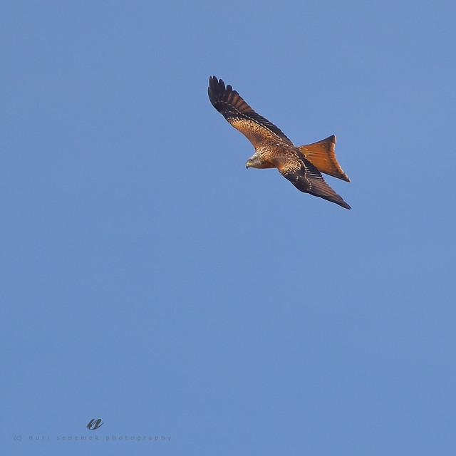 red kite - milan royal