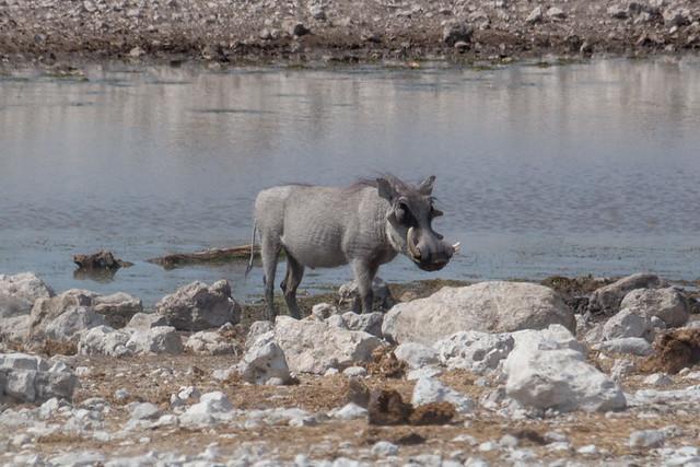 warthog @ Olifantsbad waterhole