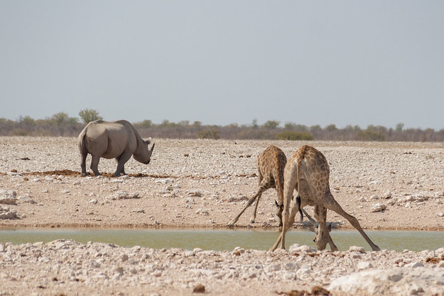 rhino and giraffes rhino, giraffe, and springbok @ Gemsbokvlakte waterhole