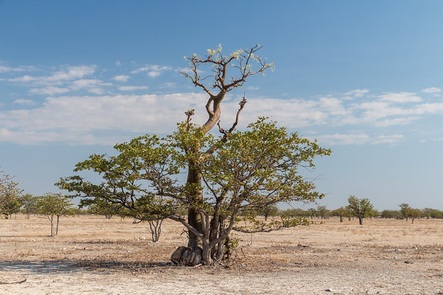 African Moringa tree
