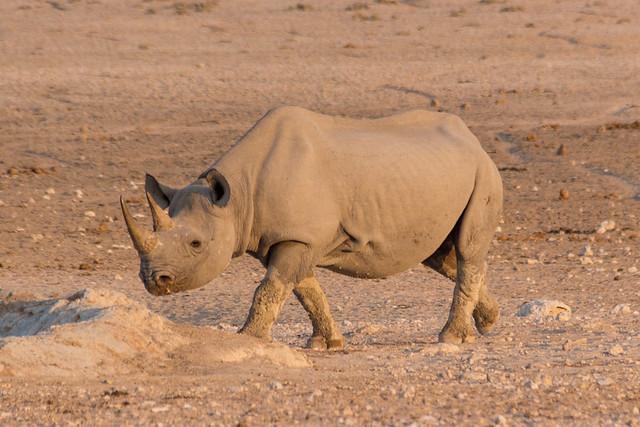 rhino @ Nebrowni waterhole