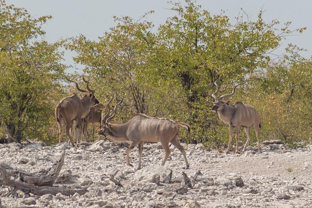 kudu @ Olifantsbad waterhole