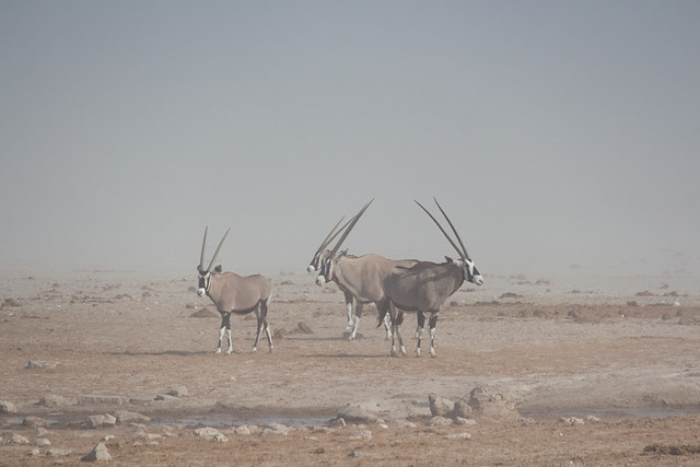 oryx in the dust @ Ozonjuitji m'Bari waterhole