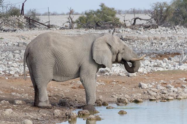 elephant @ Okaukuejo waterhole