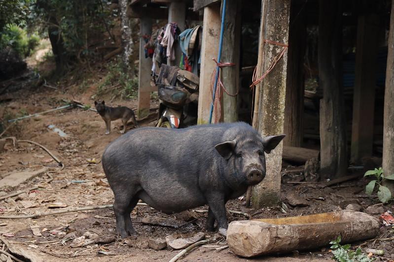 Black Lahu Pig