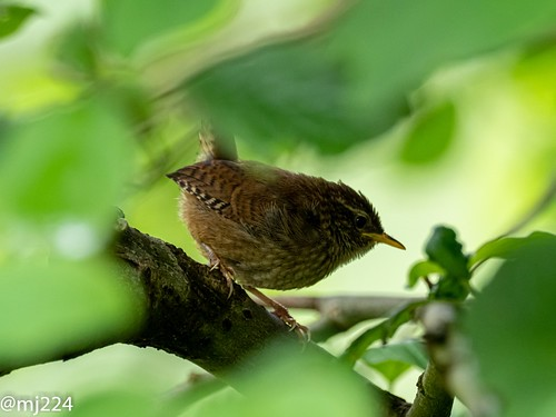Baby Wrens in their tree | by dudutrois