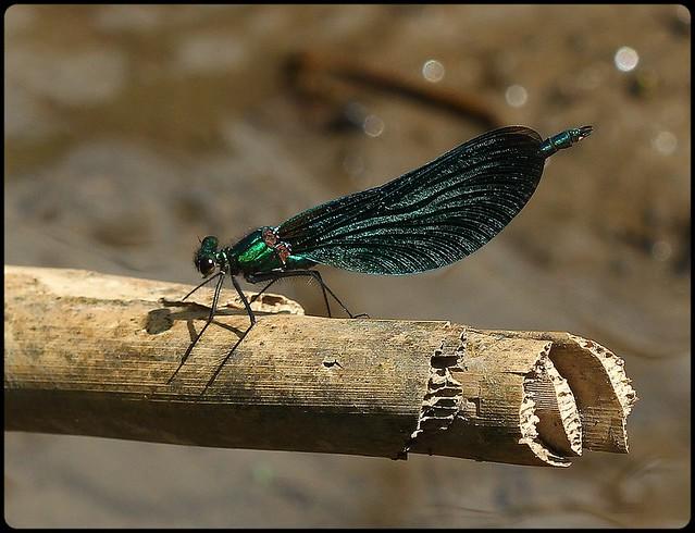 Male Beautiful Demoiselle on a stick!
