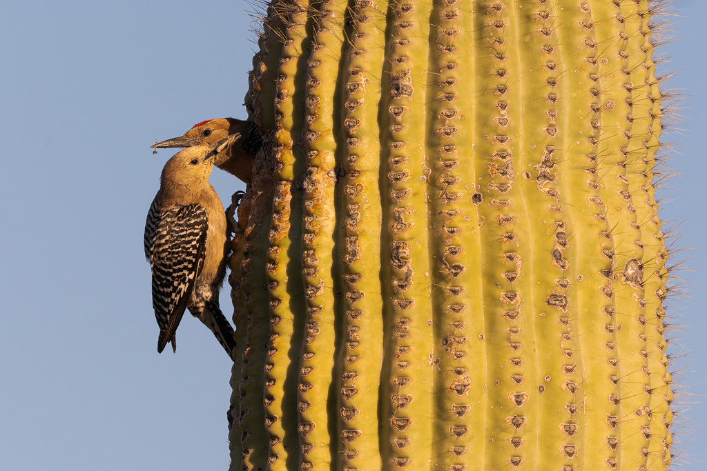A female Gila woodpecker tilts her head to the side while holding a moth in her beak as her male partner prepares to leave the nest in a saguaro beside the Latigo Trail in McDowell Sonoran Preserve in Scottsdale, Arizona in May 2019