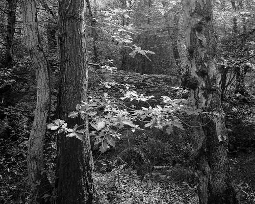tree trees hyonswood blackandwhite monochrome rural northeast ancient woodland landscape largeformat 4x5 walkertitansf ilforddelta100