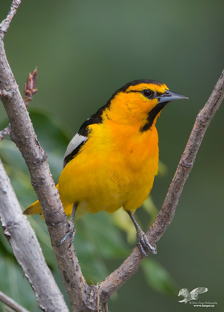 Interesting Stance (Bullock's Oriole)