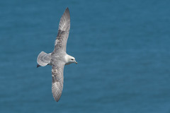 Flying Fulmar